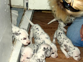 Dalmatian Puppies 3 1/2 weeks old