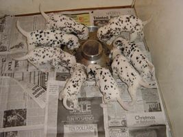 Dalmatian Puppies eating out of a flying saucer
